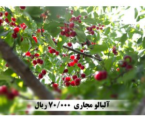 f_300_250_16777215_00_images_music_cherries_1.jpg